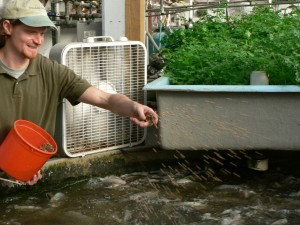 Kevin Ferry feeds tilapia at Cabbage Hill Farm