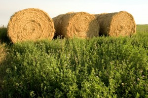 Hey, not so fast with GMO hay!