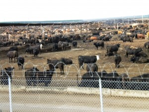 Harris Ranch Feedlot