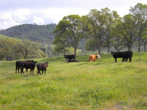Open Space Cattle Mariposa Ranch