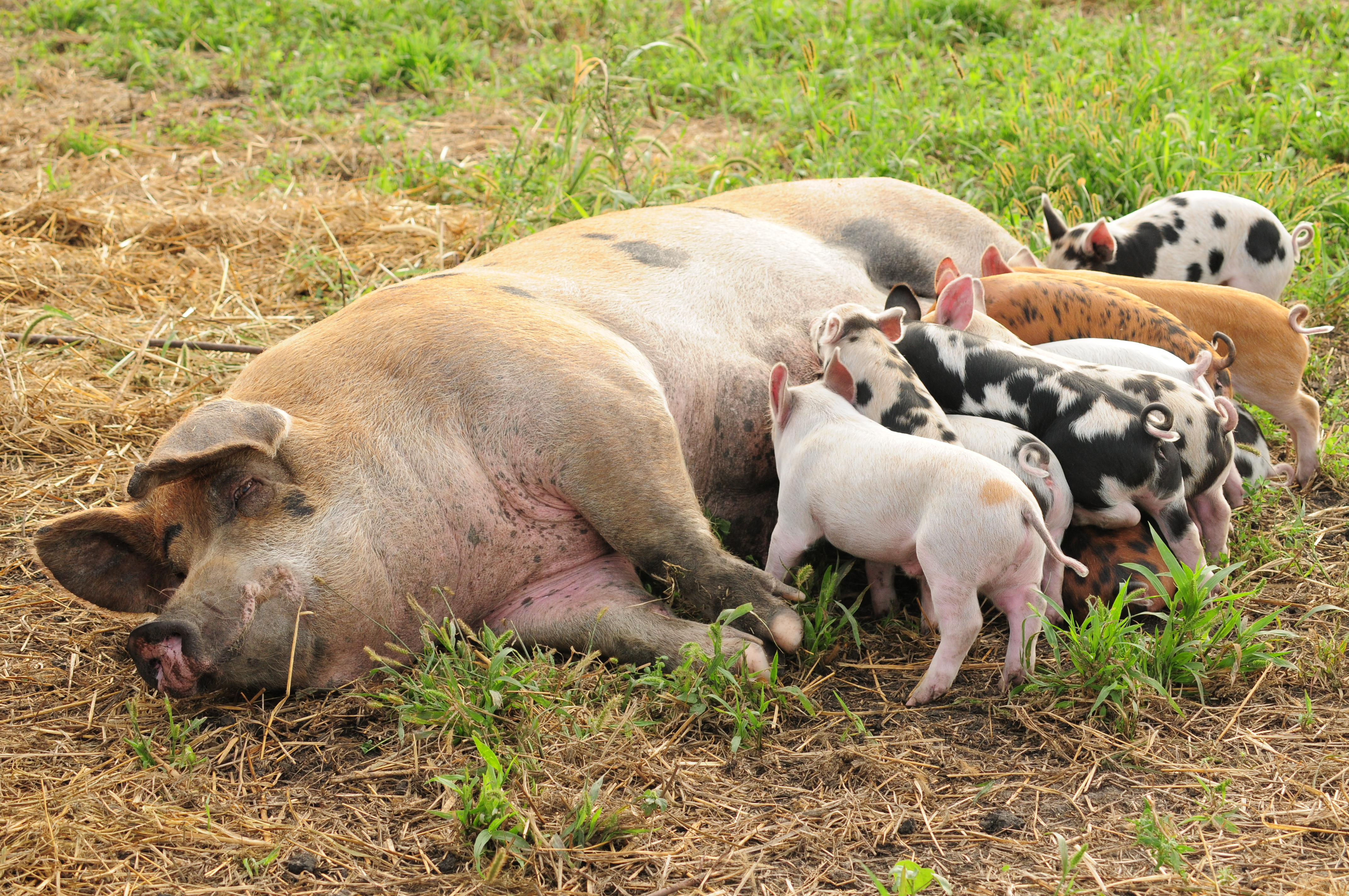 Blue apron niman ranch - Sow And Pigs Niman Ranch